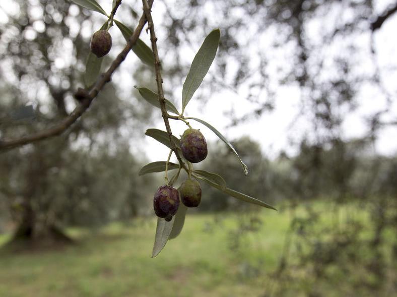Olio di oliva italiano:crisi di produzione e strategica